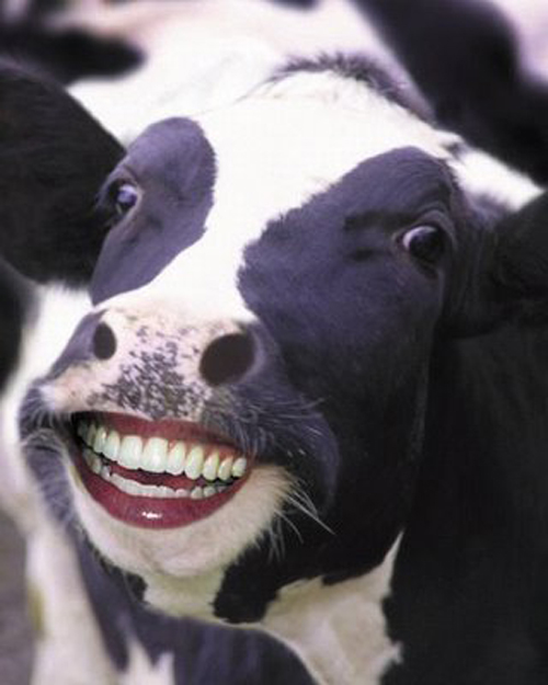 funny-cow-smiles-01
