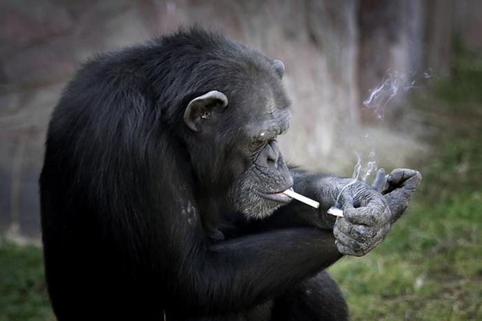 smoking-chimp2