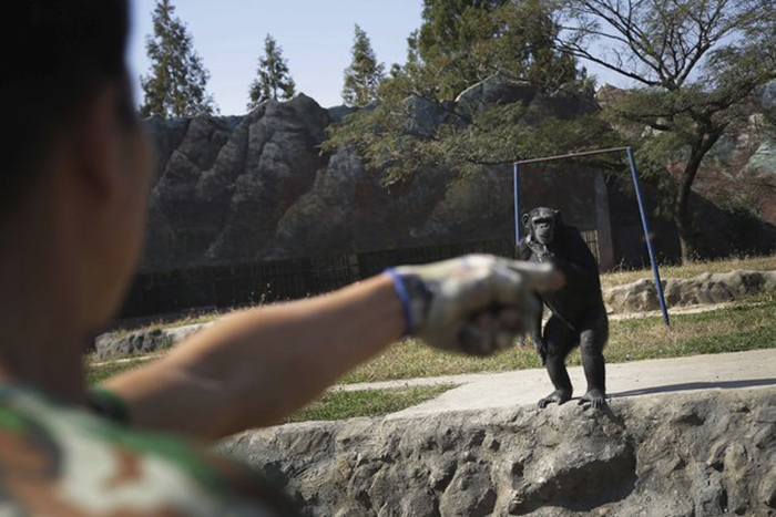 """Azalea, whose Korean name is """"Dallae"""", a 19-year-old female chimpanzee, looks at her keeper at the Central Zoo in Pyongyang, North Korea on Wednesday, Oct. 19, 2016. According to officials at the newly renovated zoo, which has become a favorite leisure spot in the North Korean capital since it was re-opened in July, the chimpanzee smokes about a pack a day. They insist, however, that she doesn't inhale. (AP Photo/Wong Maye-E)"""