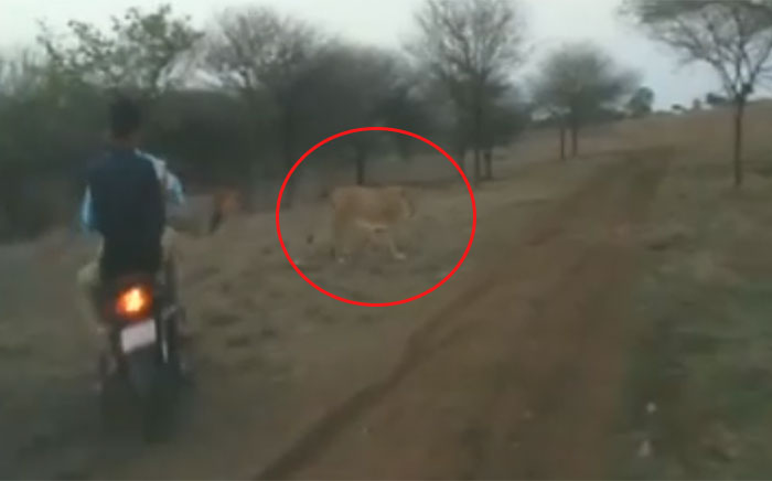 Another Video of Bikers Chasing Lion, Lioness in Gir Surfaces; Three Arrested