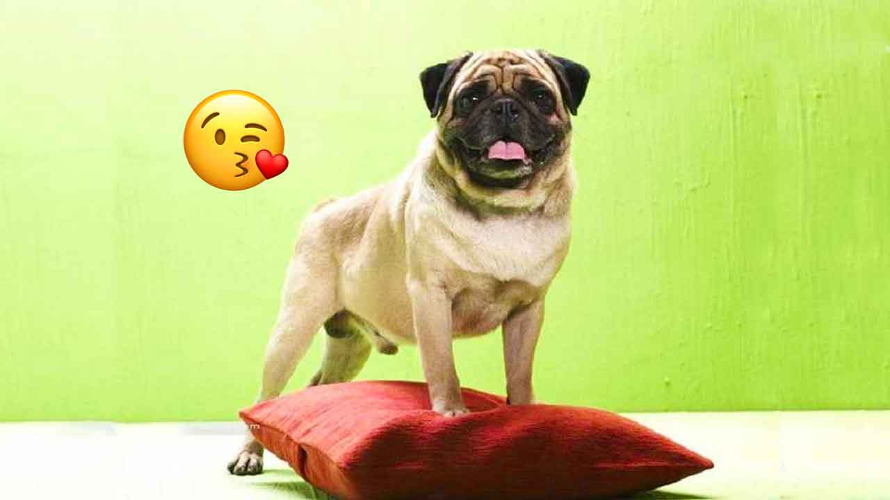 It S Been 15 Years Since We All Fell In Love With This Pug And
