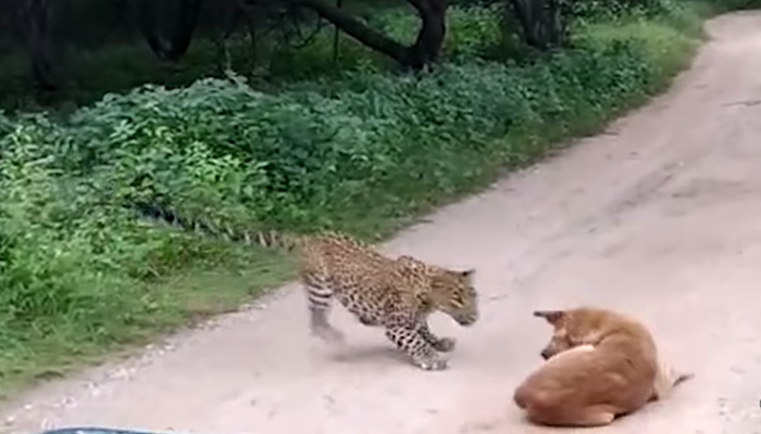 street-dog-has-the-last-laugh-as-a-young-leopard-tried-to-hunt-it-down/