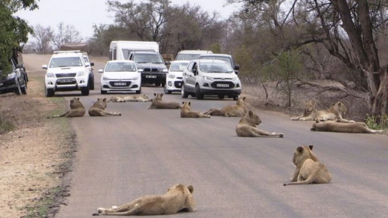 Full-Grown Lions In South Africa Walk On The Streets, Amazing Video Goes Viral