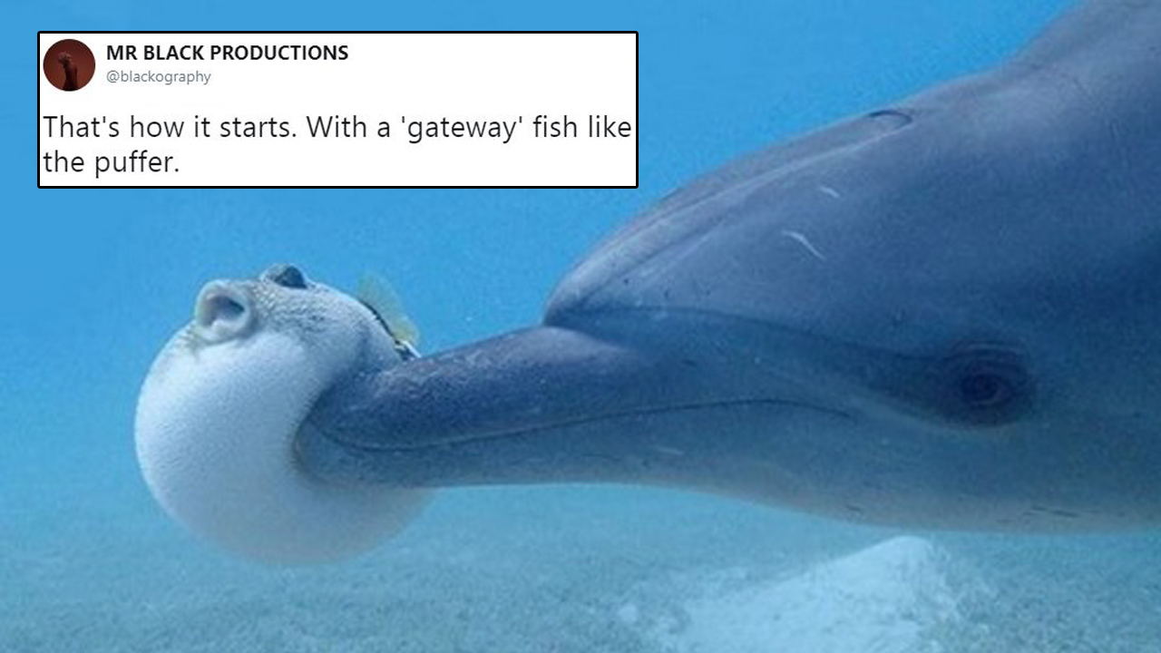Netizens React Hilariously To Dolphins Using Pufferfish To Get High