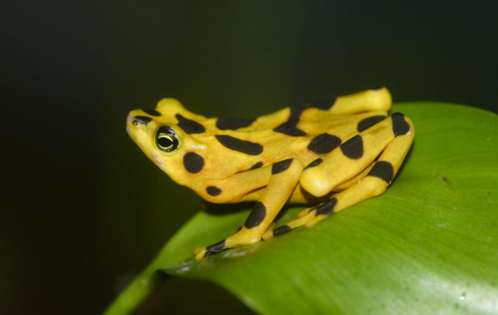 Deadly Frog Pathogen Could Cause Sixth Mass Extinction