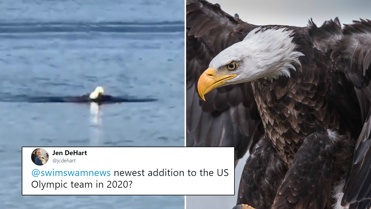 Bald Eagle Swimming In Ocean Looks Like A Human Doing