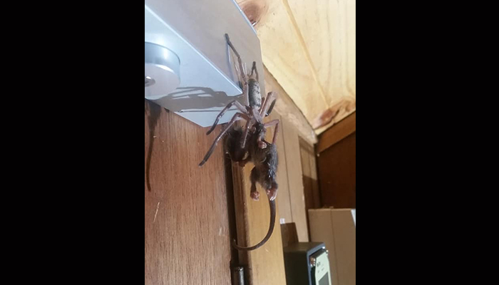 Scary Pics Of A Giant Huntsman Spider Eating A Possum Go Viral