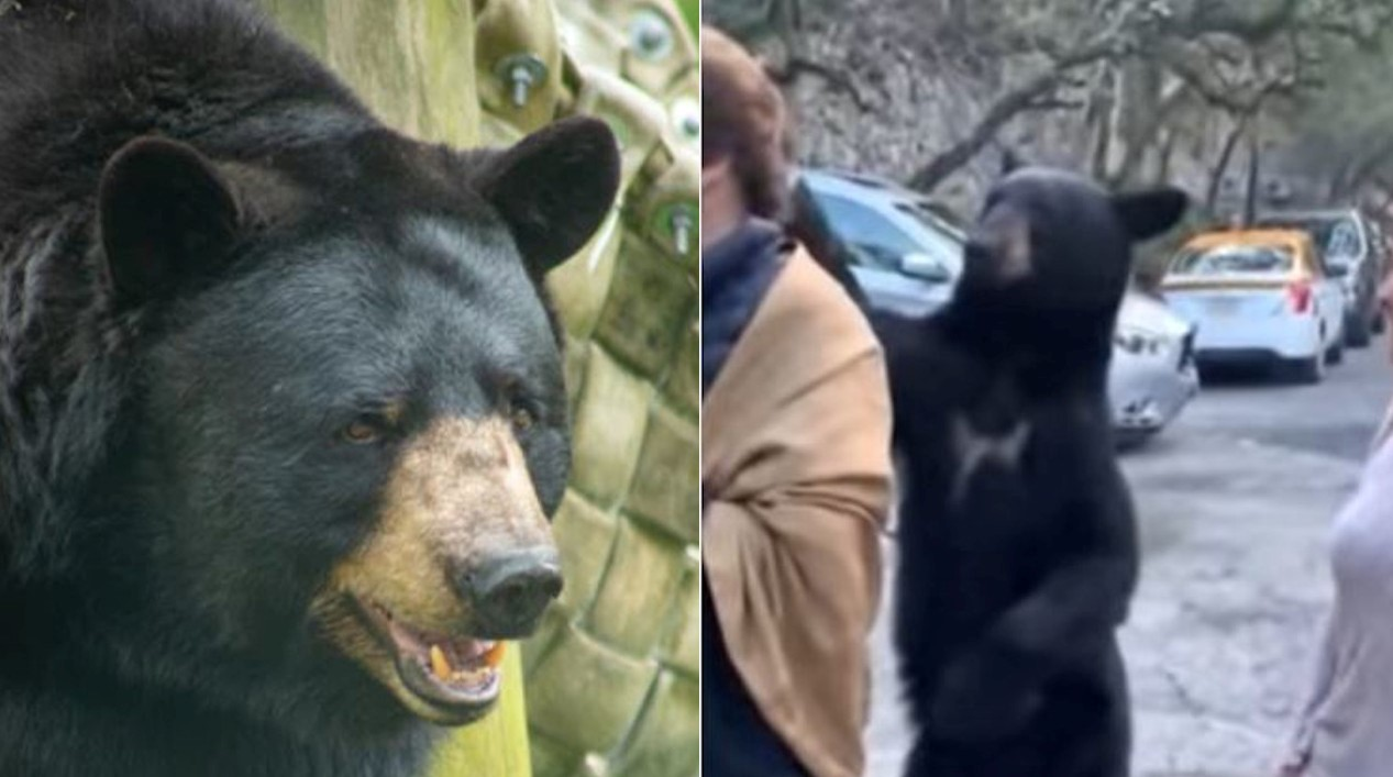 Black Bear Gently Strokes A Shocked Visitor's Hair In Mexico Zoo, Watch Video