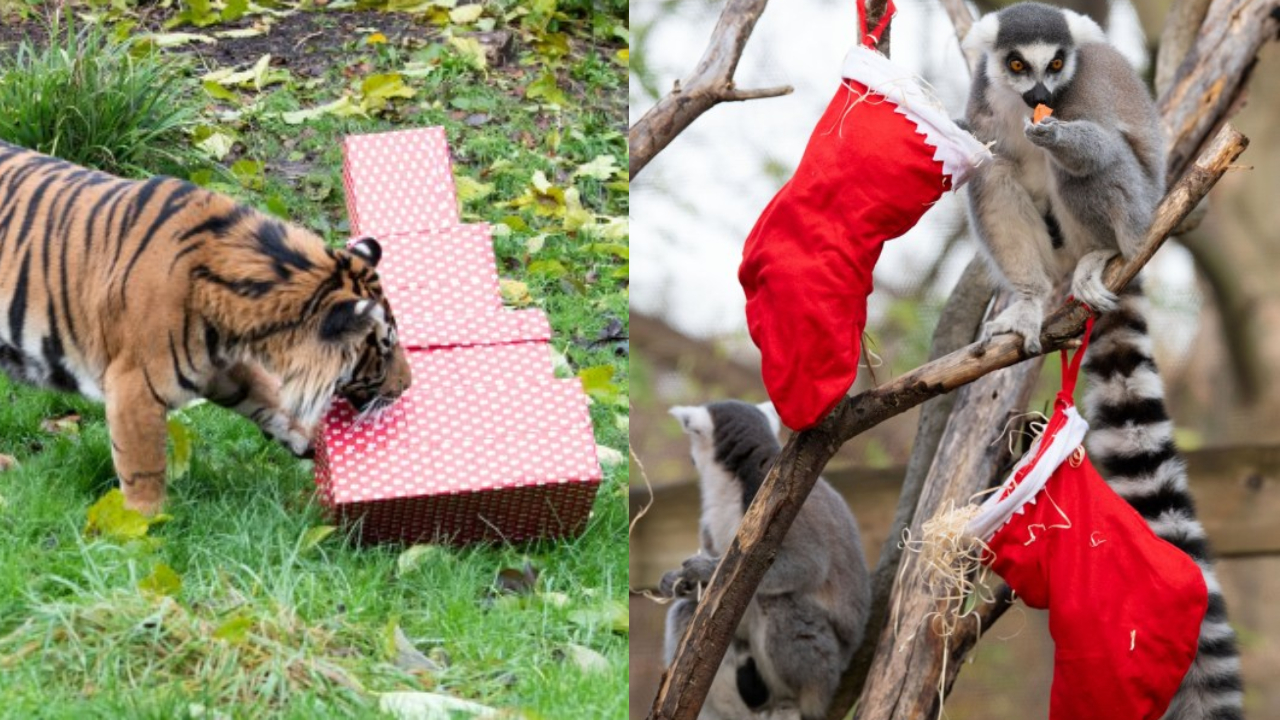 London Zoo Animals Received Presents Ahead Of Christmas