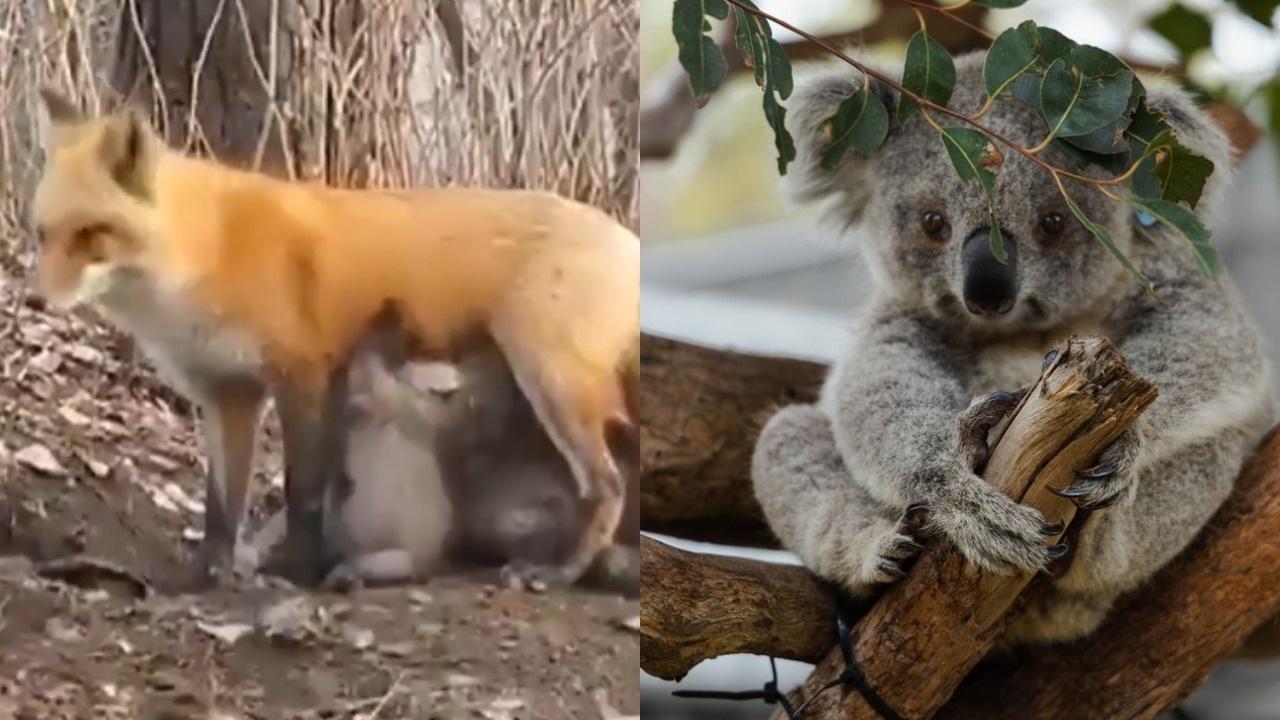 Fox Feeds Its Milk To Baby Koalas In Australia, Twitter Calls It 'Greatness Of Motherhood'