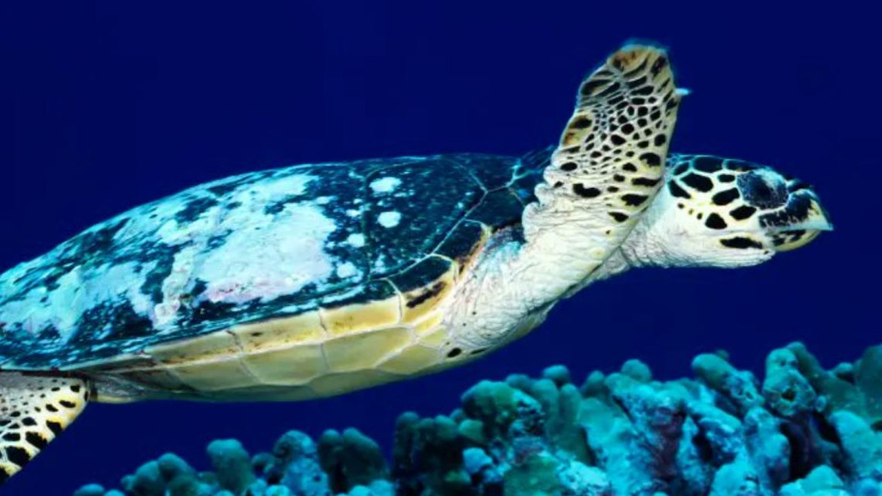 Yoshi, A Turtle Swam 37,000 KM Heading Straight Home After 20 Years In Captivity