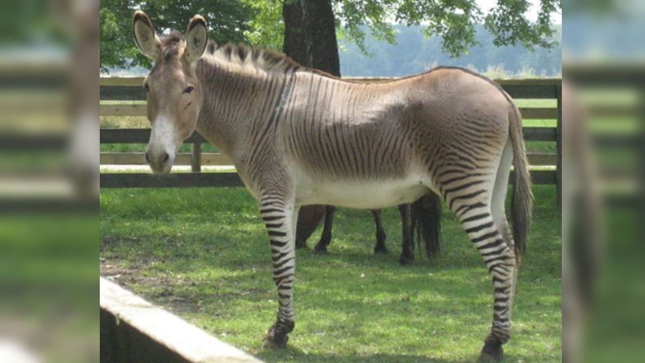A Zebra & Donkey Fell In Love, Gave Birth To A 'Zonkey' In Africa, See Pics